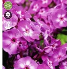 Флокс Paniculata Laura - 1 оп (1 коренище)