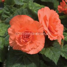 Бегония (Begonia) Double Orange 5/6