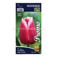 Лале (Tulip) Triumph red and white 12/+ 1 оп (10 луковици)