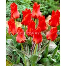 Лале (Tulip) Botanical Roodkapje 11/12