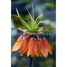 Фритилария / Fritillaria imperialis 'Mahler' / 1 бр