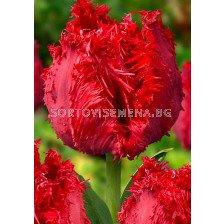 Лале (Tulip) Fringed Barbados 11/12
