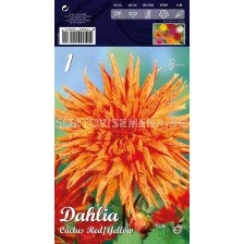 Далия (Dahlia) Cactus Red/Yellow