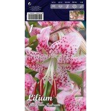 Лилиум  Spec.Rubrum 16/18 LSCH