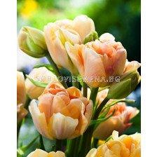 Лале (Tulip) Charming Beauty 11/12