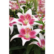 Лилиум (Lilium) Asiatic Strawberry and Cream 14/16