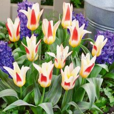 Лале (Tulip) Botanical Johan Strauss 11/12