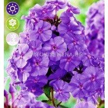 Флокс Paniculata Amethyst - 1 оп (1 коренище)