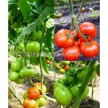 Сорт домати Гравитет F1 - 500 сем. Аграра ООД.