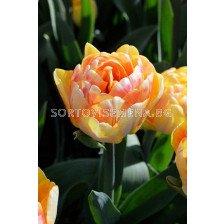 Лале (Tulip)  Elegant Foxtrrot 11/12