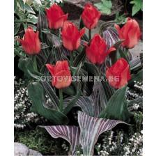 Лале (Tulip) Botanical Oratorio 11/12
