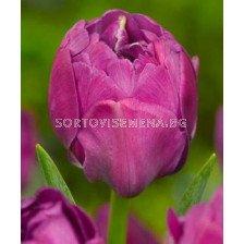 Лале (Tulip) Bold Abigail 11/12