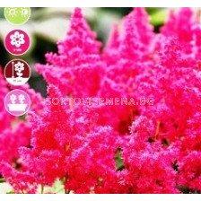 Астилбе younique ruby red - 1 оп (1 коренище)