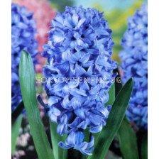 Зюмбюл Delft's Blue 14/15 - Hyacinth Delft's Blue 14/15