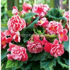 Бегония Camellia 4/5 - Begonia Camellia 4/5