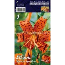 Лилиум  Tigrin.Splendens 16/18