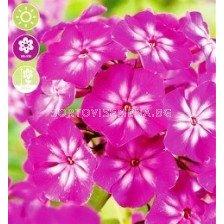 Флокс Paniculata Tatjana - 1 оп (1 коренище)