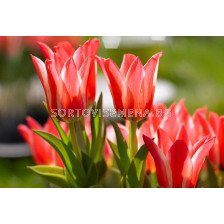 Лале (Tulip) Botanical Pinocchio 11/12