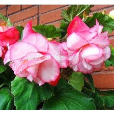 Бегония Cascade Florence 4/5 - Begonia Cascade Florence 4/5