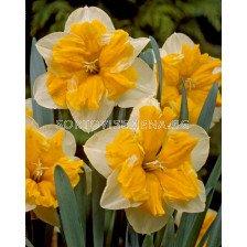 Нарцис (Narcissus) Orangery 12/14