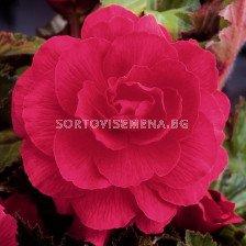 Бегония (Begonia) Double Pink 5/6