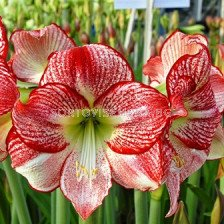 Амарилис (Amaryllis) Flamenco Queen 24/26