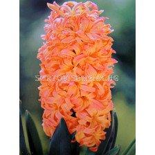 Зюмбюл Gipsy Queen 14/15 - Hyacinth Gipsy Queen 14/15