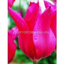 Лале (Tulip)  Fairy-Tales Jazz 11/12