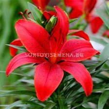 Лилиум (Lilium) Asiatic Red County 14/16