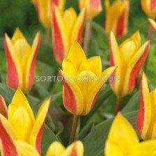 Лале Botanical giuseppe verde 11/12 - Tulip Botanical giuseppe verde 11/12