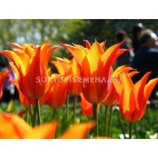 Лале (Tulip) Lilyflowering Ballerina 11/12