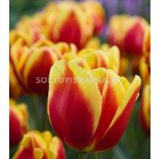 Лале (Tulip) Courage Denmark 11/12