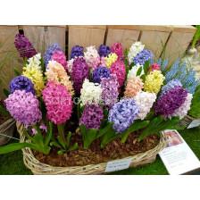 Зюмбюли Микс 14/15 - Hyacinths Mix 14/15