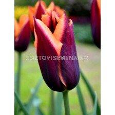 Лале (Tulip) Courage Muvota 11/12