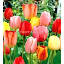 лалета Longstemmed Tulips Mixed