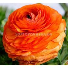 Ранункулус Picotte Orange