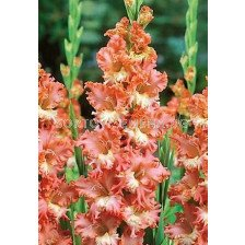 Гладиол (Gladiolus) Frizzled Coral Lace