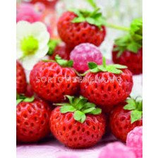 Ягоди / Fragaria Ananassa Raspy Strawberry / 1 оп- 2 корена