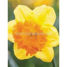 Нарцис /Narciss 'Sunlover'/ 1 бр