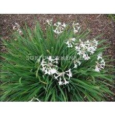 Тулбагрия бяла / Tulbaghia violacea 'Alba' / 1 бр