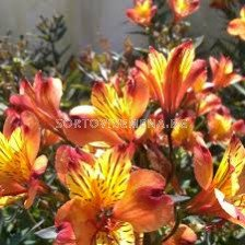 Алстромерия Ориндж Кинг /Alstroemeria aurea 'Orange King'/- 1 бр