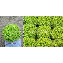 Пелети салата батавия ОЛЕОЛЕ ( OLEOLE F1) Syngenta 1 оп-5 000 сем