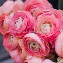 Ранункулус розов 1 бр