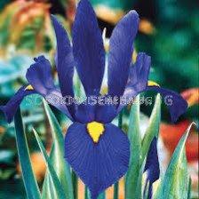 Ирис /Iris dutch 'Blue Pearl'/
