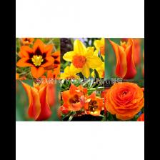Луковици микс в оранжево - Orange Garden in Gift Bag (50 луковици)