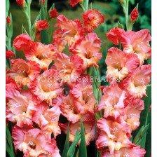 гладиол (Gladiolus) Fresco