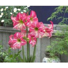 африкански амарилис Розов - african amaryllis Pink
