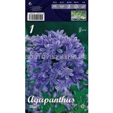 Агапантус Син -  Agapanthus Blue