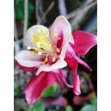 Аквилегия розова - Aquilegia pink