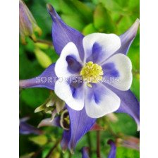 Аквилегия синя - Aquilegia blue